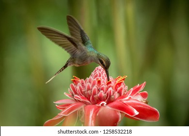 Green hermit (Phaethornis guy) hovering next to big red flower, bird in flight, caribean tropical forest, Trinidad and Tobago, natural habitat, beautiful hummingbird sucking nectar,green background