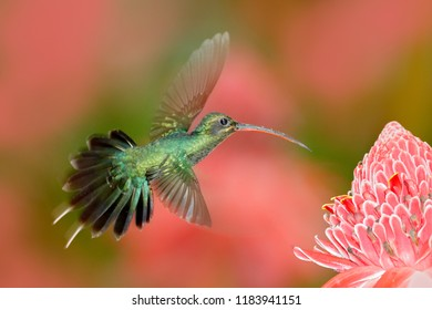 Green Hermit, Phaethornis guy, rare hummingbird from Trinidad. Shiny bird flying next to beautiful pink red flower in jungle. Action feeding scene in tropical forest, animal in nature jungle habitat.