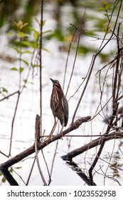 Green heron Butorides virescens hunts in a pond in the Corkscrew Swamp Sanctuary of Naples, Florida