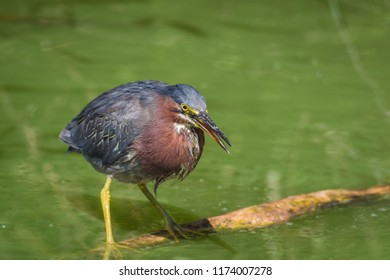 Green heron (Butorides virescens) perched on log in water fishing