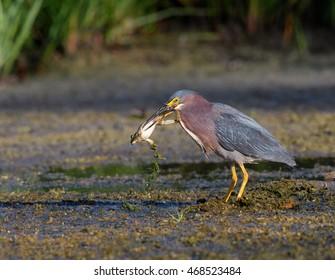Green Heron Caught a Bullfrog Frog