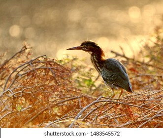 A green heron early in the morning.