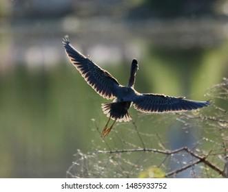 A green heron in the morning sun.