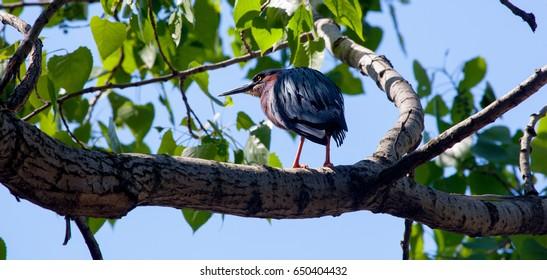 Green Heron on a Natural Perch