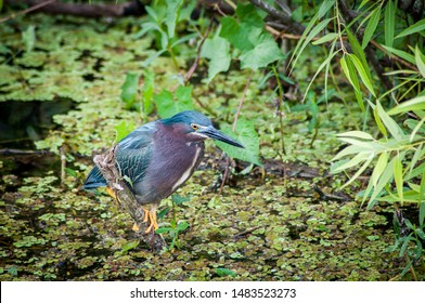 A green heron, poised above the waters of Shark Slough, in Everglades National Park. Ready to spring as soon as he spots a fish or frog.
