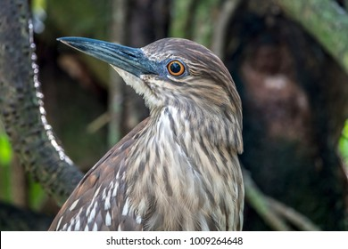 green heron,Butorides virescens is a small heron of North and Central America. Butorides