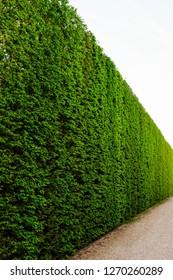 green high hedge, wall of green hedge
