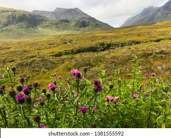 The green hills, fields and mountains  of Glen Coe West Highlands in Scotland, United Kingdom with purple flowers in the background