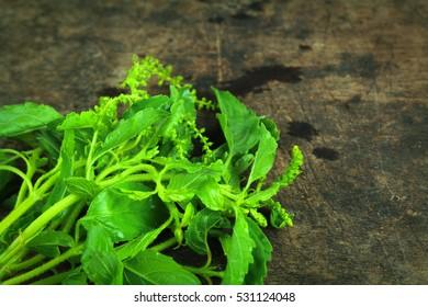 Green Holy Basil, Hot basil, Ocimum sanctum