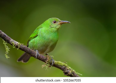 Green Honeycreeper - Chlorophanes spiza, beatiful small colorful honeycreeper from Costa Rica.