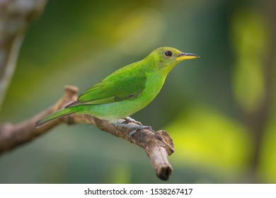 The Green Honeycreeper, Chlorophanes spiza is sitting on the branch in green backgound, amazing blue colored bird, Trinidad