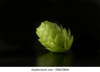 Green hop cone isolated on black background / Freshly harvested hop flower for beer making / Green fresh hops cone