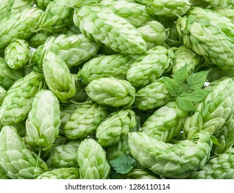 Green hop cones -  ingredient in the beer production.