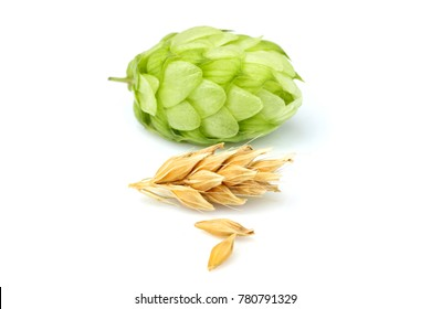 Green hop with ears of barley.Isolated closeup on white background.