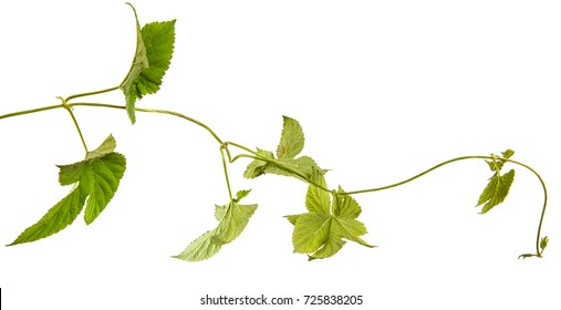 green hop leaves. Isolated on white background