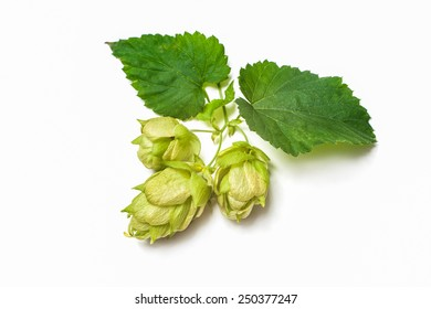 Green hop plant isolated on white background