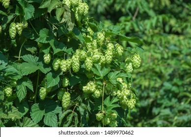 Green hops close up. Green hops is beer ingredient. Green hops agriculture