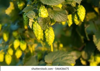 Green hops close up. Green hops is beer ingredient. Green hops agriculture.