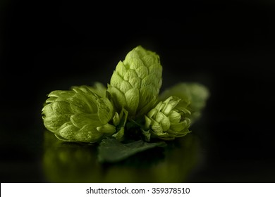Green hops cones on black background / Freshly harvested hops flowers for beer making / Green fresh hops cones
