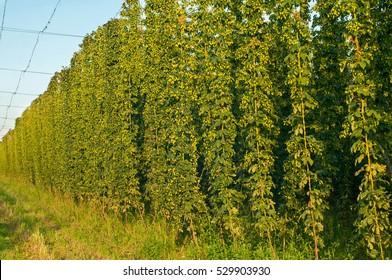 Green hops field