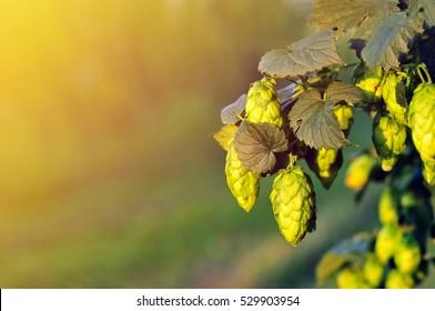 Green hops, lit by warm sun light in green hops field. Green hops agriculture