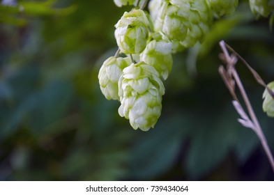 Green hops on a branch