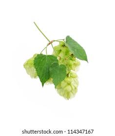 Green hops  plant, hopcones isolated on white background