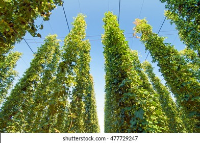 Green hops plantation and green hops plants with blue sky above. Green hops agriculture