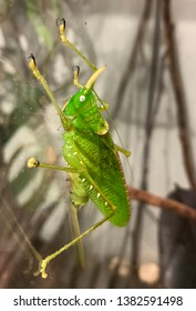 Green Horned katydid clinging to glass with white eyes