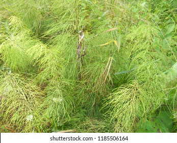 Green horsetail.  Green leaves background. Horsetail background.