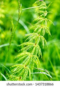 Green horsetail stalk in the meadow macro