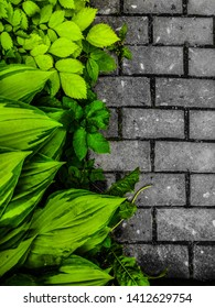 Green Hosta and Asphalt gray . Hosta leaves. Nature background image. Beautiful Hosta leaves background.