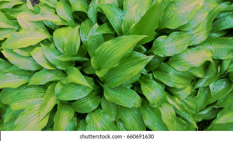 Green hosta (Hosta lancifolia) leaves with raindrops