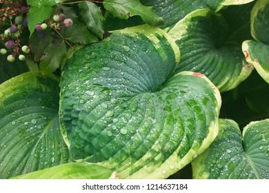 Green hosta leaves with rain drops. Garden plants. Mahonia aquifolia.