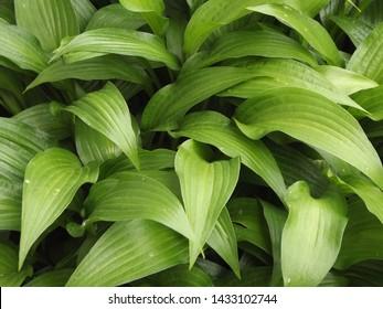 Green Hosta Plant Flower Garden