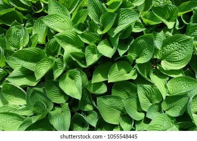 green hosta plant leaves