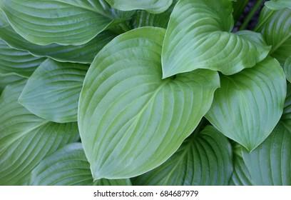 Green hosta (Hosta plantaginea) leaves
