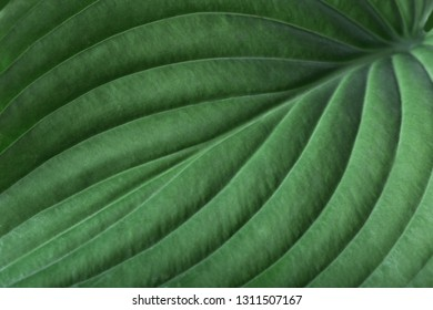 Green hosta (plantain lily) leaf. Detailed macro photo. Beautiful foliage texture. Can be used as a background. Top view. Closeup.