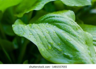 Green hosta plants. Hosta plants in the morning. Sunlit hosta plant on a summers day. Drops of dew on a leaf. Landscape design. Site gardening.