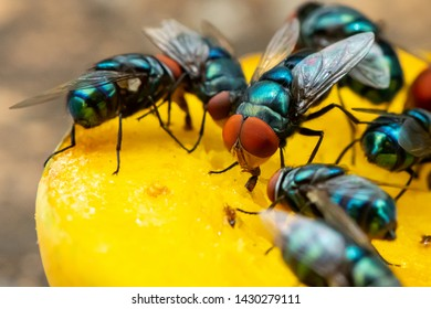Green houseflies feeding on ripe mango using their labellum to suck the meat