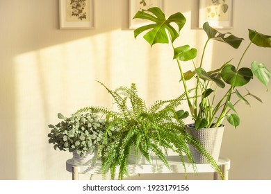 green houseplants fittonia, nephrolepis and monstera in white flowerpots on window