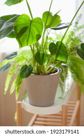 green houseplants nephrolepis and monstera in white flowerpots on window