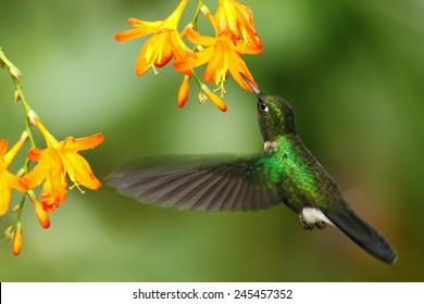 Green humingbird  Tourmaline Sunangel, Heliangelus exortis, flying next to beautiful yellow and orange flower, Costa Rica.