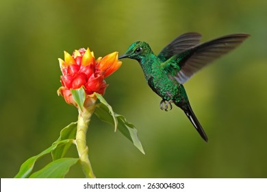 Green hummingbird Green-crowned Brilliant,  Heliodoxa jacula, from Costa Rica flying next to beautiful red flower with clear background.