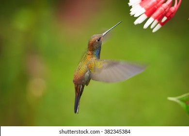 Green hummingbird with sparkling blue throat, White-tailed Hillstar, Urochroa bougueri lfeeding from cluster of red flowers in rainy day against  blurred, green background. Side view. Colombia.