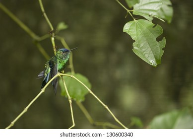 A green hummingbird (Trochilidae/Trochilinae/Anthracothorax), at Misiones, Argentina