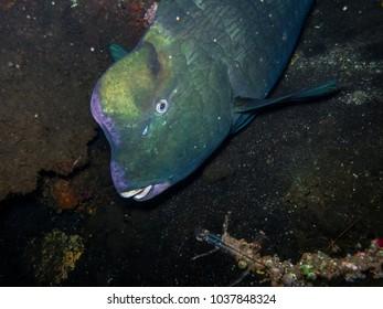 Green humphead parrotfish (Bolbometopon muricatum).