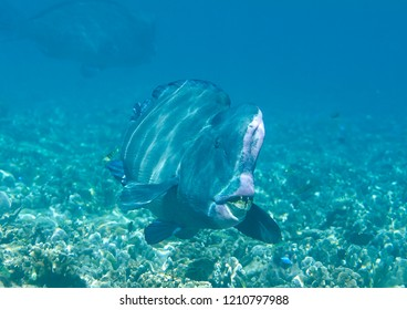 Green humphead parrotfish ( Bolbometopon muricatum ) swimming over coral reef of Raja Ampat, Indonesia