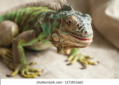Green iguana (Iguana iguana, American iguana). Close up portrait of exotic home pet. Reptile sit on burlap. Selective focus.