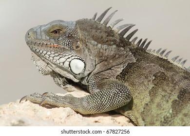 Green Iguana (Iguana iguana) basking on a rock - Bonaire, Netherlands Antilles